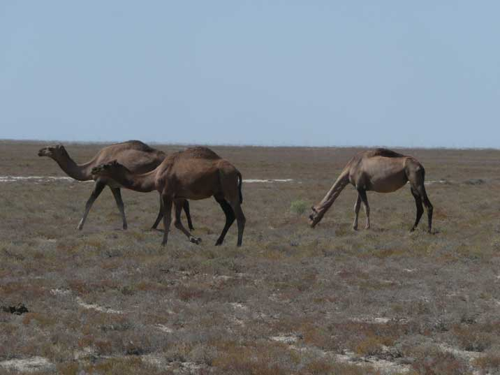 Camels are now grazing on the former bottom of the Aral Sea